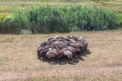 Flock of sheep stood in a circle. To escape the heat Stock Image
