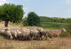 Flock of sheep in summer Bulgaria Royalty Free Stock Images