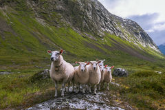 Flock of sheep in summer Scandinavia Stock Photo