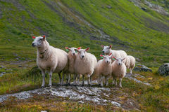 Flock of sheep in summer Scandinavia Stock Photography
