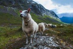 Flock of sheep in summer Scandinavia Stock Image