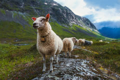 Flock of sheep in summer Scandinavia. Flock of sheep in mountains of Scandinavia. Troll`s valley Royalty Free Stock Photography
