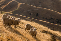Flock of sheep on sunlit hills Royalty Free Stock Images