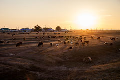 A flock of sheep. At sunset stock photography