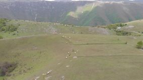 Flock of sheep at sunset. Sheeps in a meadow in the mountains. Beautiful natural landscape stock video footage