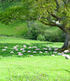 Flock of Sheep Taking a Mid Afternoon Rest. On the river walk from Ashprington to Totnes Devon I came across these sheep, just lazing under the shade of the tree Royalty Free Stock Photo