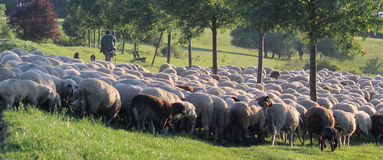 Flock of Sheep in the Taunus mountains Royalty Free Stock Photography