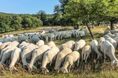 Flock Of Sheep in the Taunus mountains Stock Photo
