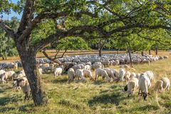 Flock Of Sheep in the Taunus mountains Stock Images