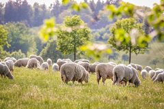 Flock Of Sheep in the Taunus mountains Stock Image