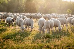Flock Of Sheep in the Taunus mountains Royalty Free Stock Photo
