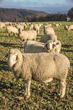 Flock Of Sheep in the Taunus mountains Stock Photography