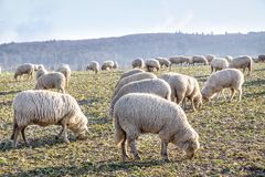 Flock Of Sheep in the Taunus mountains Royalty Free Stock Images