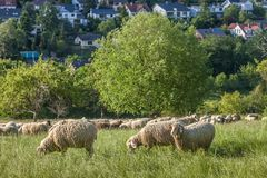 Flock Of Sheep in the Taunus mountains Royalty Free Stock Photos
