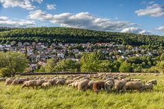 Flock Of Sheep in the Taunus mountains Stock Photos