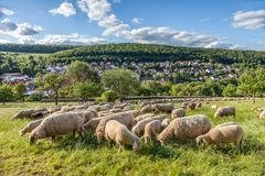 Flock Of Sheep in the Taunus mountains Royalty Free Stock Image