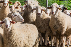 A flock of sheep to pasture Royalty Free Stock Photo