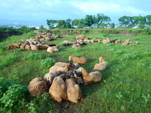 Flock of sheep together Royalty Free Stock Images