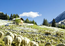 Flock of sheep at Tonale Pass, Lombardy Stock Images