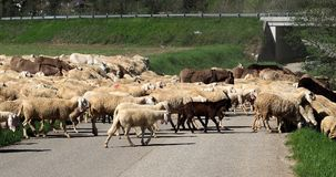 A flock of sheep in transhumance, with some donkeys, crosses the road near a road bridge in Italy.  royalty free stock photos
