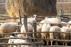 Flock of sheep in transilvanian countryside Royalty Free Stock Image