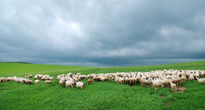 Flock of sheep under dark cloud Stock Photo