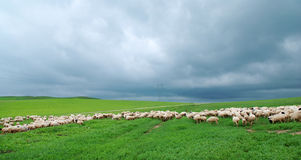 Flock of sheep under dark cloud Royalty Free Stock Photography