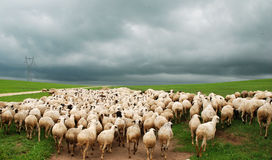 Flock of sheep under dark cloud Royalty Free Stock Images