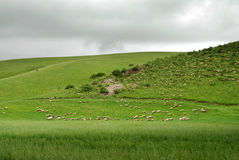 Flock of sheep under dark cloud Stock Image