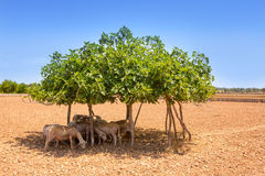 Flock of sheep under fig tree shadow on summer Royalty Free Stock Image