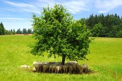 Flock of sheep under tree. Royalty Free Stock Photos