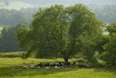 Flock of sheep under a tree. In the shadow Stock Photos