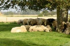 Flock of sheep under a tree, Romney Marsh Royalty Free Stock Photos