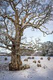 Flock of sheep under a tree on a snowy day in winter Stock Photo