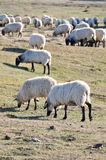 Flock of sheep at Urbasa range, Navarre Royalty Free Stock Photography