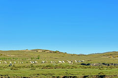 A flock of sheep on The vast grassland stock photos