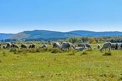 A flock of sheep on The vast grassland and stream royalty free stock photography