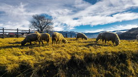 Flock of sheep. In village Magura,Romania Royalty Free Stock Image