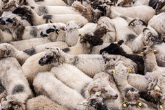 Flock of sheep. Stock Images