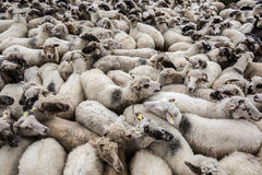 Flock of sheep. Stock Photos