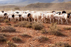 Flock of sheep walking in arid country Royalty Free Stock Image