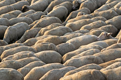 Flock of Sheep walking. Crowd of sheep in motion Stock Photos