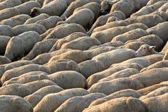 Flock of Sheep walking Stock Photos