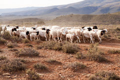 Flock of sheep walking down gravel road Stock Photo