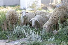 Pretty sheep eating royalty free stock photo