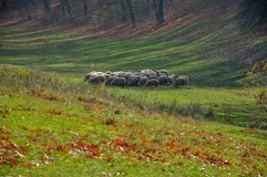 Flock of sheep. Walking on the meadow Royalty Free Stock Images