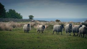 Flock Of Sheep Walking On The Moor. Lots of sheep crossing rugged hilltop landscape stock video