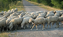 Flock of Sheep walking through a road. Grass grazing herd of sheep in walking through a road Stock Photo