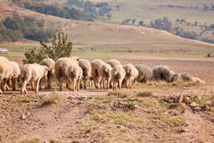 Flock of sheep walking in a row Stock Images