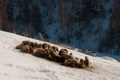 Flock of sheep in winter Stock Photo